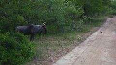 Young wildebeest crossing the road Stock Footage