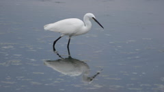 Common egret walking along the waters of the lagoon and foraging under water Stock Footage