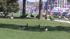 Canada geese eating grass at Markham city hall in autumn Stock Footage