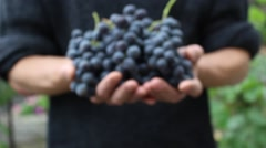 Winegrower holding red wine grapes in his hands - stock footage