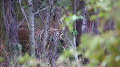 Leopard feeding on a kill Stock Footage