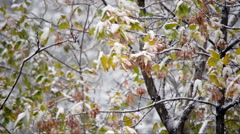 Stock Video Footage of First heavy snow fall against Box-elder (Acer negundo).