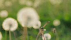 Dandelion seeds blown in the breeze Stock Footage