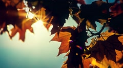 Sun shining through fall leaves blowing in breeze Stock Footage