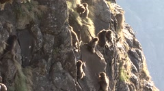 Gelada babies playing down the cliffs Stock Footage