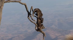 Gelada babies playing on the edge of the branch. Stock Footage