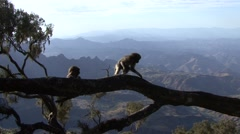 Gelada babies playing on tree Stem. Stock Footage