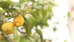 Natural lemon tree Stock Footage