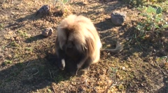 Gelada digging for roots on the grass plains - stock footage