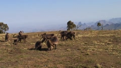 Gelada female walk with baby on her back Stock Footage