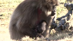 Gelada female with newborn baby Stock Footage