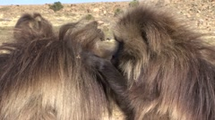 Gelada grooming and feeding Stock Footage