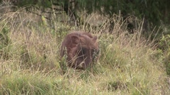 Common Warthog male feeding in grass Stock Footage