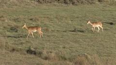 Bohor Reedbuck female walk on plains Stock Footage