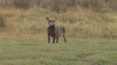 Common Warthog running over plains Stock Footage
