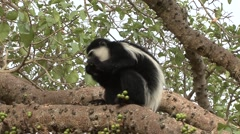 Eastern Black-and-white Colobus Monkey feeding on fruit Stock Footage
