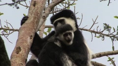Eastern Black-and-white Colobus Monkey female with baby Stock Footage
