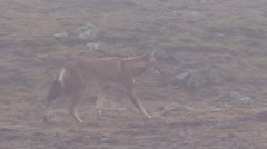 Ethiopean Wolf walking on plains in mist Stock Footage