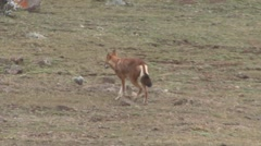 Ethiopean Wolf walking on plains Stock Footage