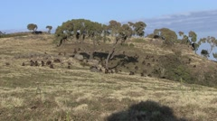 Gelada group on plateau in the afternoon Stock Footage