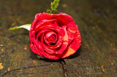 Red rose on the old wooden background - stock photo