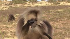 Gelada male rub his eyes Stock Footage
