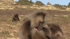 Gelada male on the plains Stock Footage