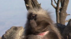 Gelada male sleepy Stock Footage