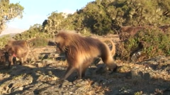 Gelada male walking on the plains late afternoon Stock Footage
