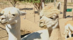 Alpacas on a ranch Stock Footage