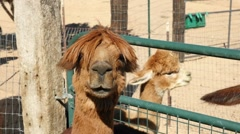 An Alpaca poses for camera Stock Footage