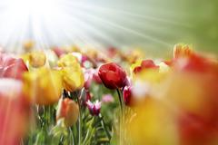 multicolor tulips in the morning sun - stock photo