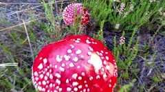 Red amanita muscaria mushrooms, in the forrest in Finland - stock footage