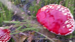 Closeup on Amanita muscaria, in the forrest Stock Footage