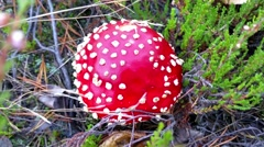 Closeup on amanita muscaria mushrooms, in the forrest - stock footage