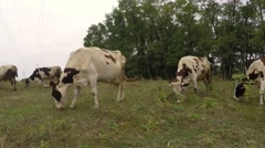 Stock Video Footage of Cows on a meadow with sparse grass hard eat grass.
