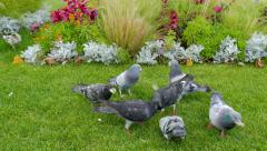 City birds. Pigeons and sparrows in a city park Stock Footage