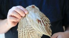 Man examines pheasant wing Stock Footage