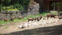 Goats az Izmir zoo Stock Footage