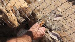 Rabbits in a cage eating bread Stock Footage