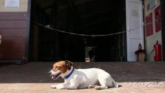 Jack Russell terrier is lying on the street, a stray dog Stock Footage