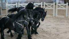 Black thoroughbred horse gallop, a horse show, horse in the circus Arkistovideo