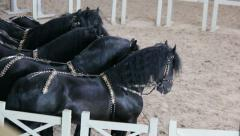Black thoroughbred horse gallop, a horse show, horse in the circus Stock Footage