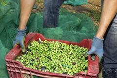 harvesting olives in Spain - stock photo
