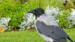 Stock Video Footage of Corvus cornix. Hooded crow. Close up shot
