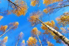 Tree canopy of birch trees Stock Photos