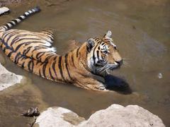 The big wild cat takes a bath - stock photo