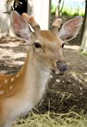 Young spotty deer near to human habitation. - stock photo