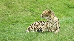 A cheetah lying down and resting on grass Stock Footage