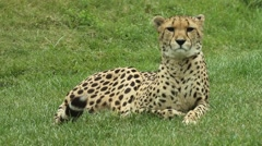 A cheetah resting in an open field - stock footage
